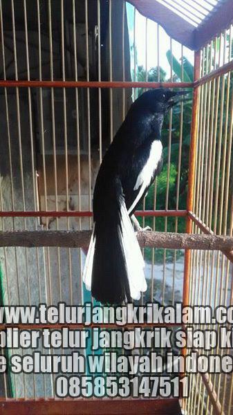 Tips Memilih Kacer Bahan Prospek dari Pedagang Burung Order WA 0858-5314-7511 Tips Memilih Kacer Bahan Prospek dari Pedagang Burung