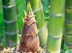 Bambu yaitu salah satu tanaman yg sanggup dgn gampang ditemukan di Indonesia Jarang Diketahui, Rebung Bambu Ternyata Bermanfaat Untuk Pengobatan Demam
