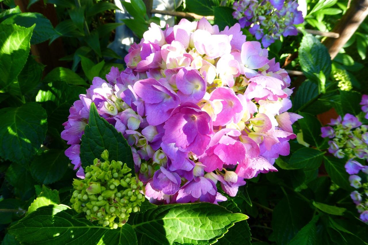 hydrangea, pink hydrangea, blooming hydrangea, blooming pink hydrangea