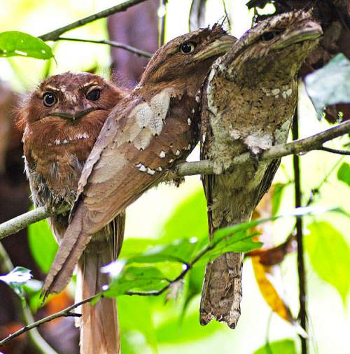 Indian birds - Sri Lanka Frogmouth - Batrachostomus moniliger