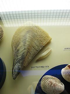 Sawtooth Pen Shell