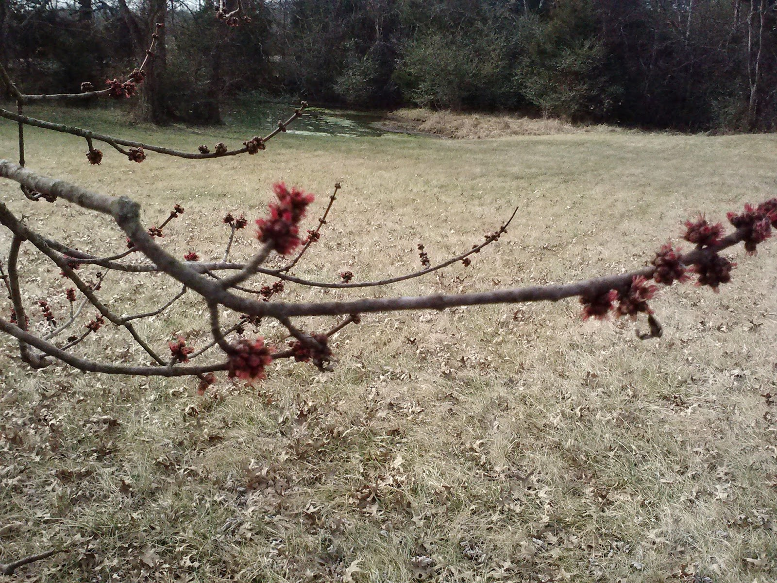 buds on trees in January #Nashville area MyWAHMPlan.com