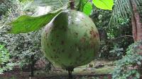 fruit around the world, strange fruit, strange fruit around the world, crazy fruit, crazy fruit around the world, BOROJO FRUIT