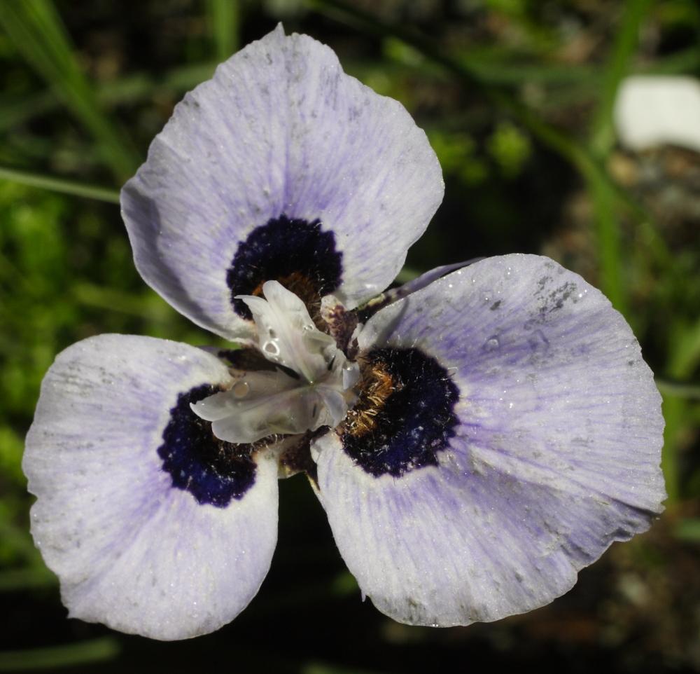 growing cool plants moraea mm 12 140