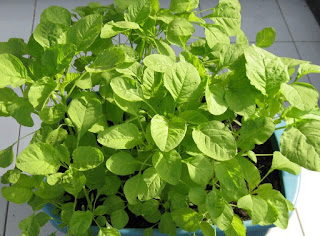 Menanam tanaman hijau di rumah