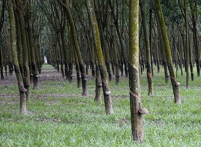 Manfaat Budidaya Pohon Karet