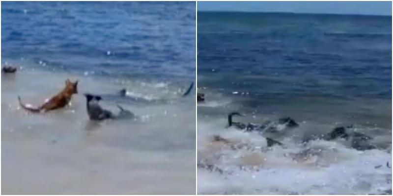 Αυστραλία: Σκυλιά έπαιζαν στην θάλασσα και τους επιτέθηκαν καρχαρίες..! Δείτε την μάχη! (βίντεο)