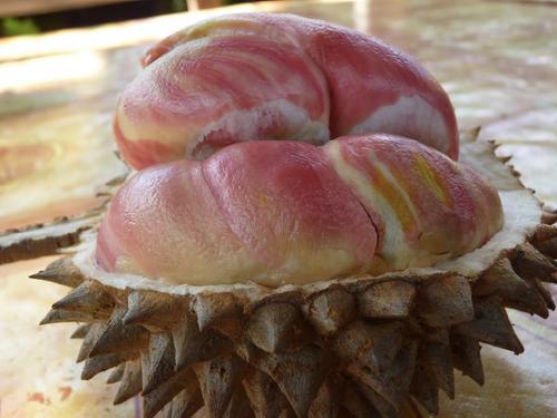 Cara Menanam Durian Pelangi Di Lahan Perkebunan