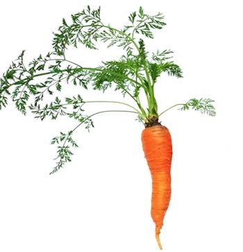CIri-ciri tanaman wortel