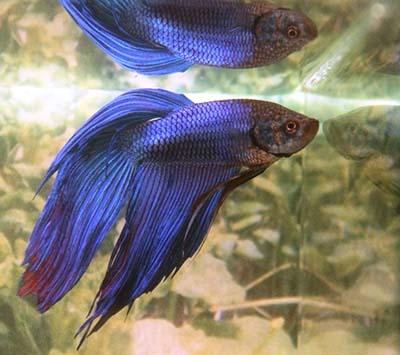 Jenis Jenis Ikan Cupang : Cupang Alam Cupang Aduan dan Cupang Hias  (spesies, bentuk ekor dan warna)