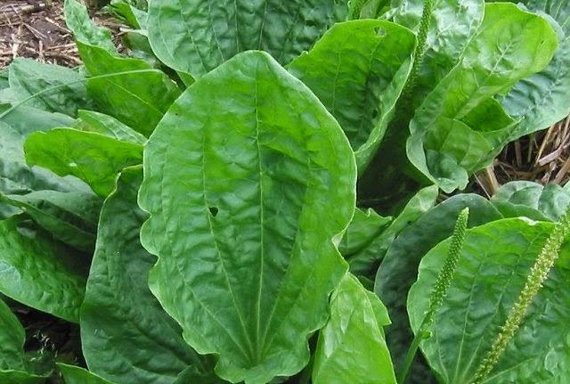 Daun sendok / Sembung Otot (Broadleaf Plantain)