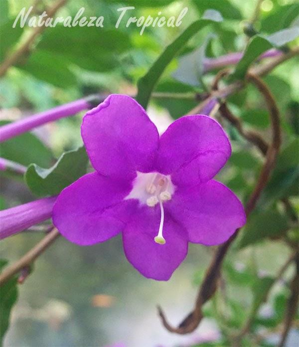 Flor de la planta Brunfelsia cestroides, endémica de Cuba