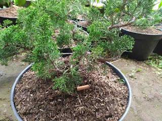 bonsai-cemara-sargenti-murah.jpg