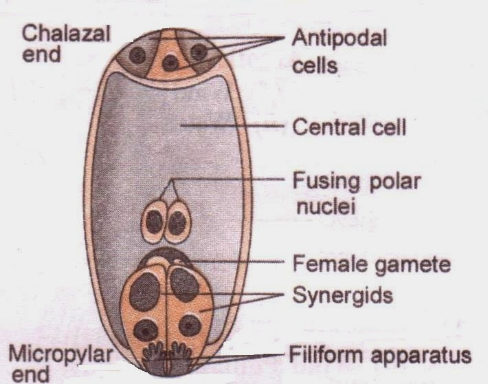 Sexual reproduction in flowering plants class xii