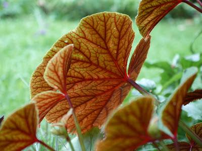 The hardy begonia - Begonia grandis