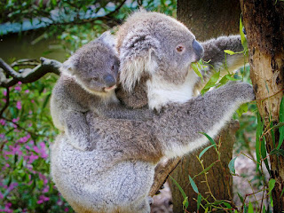 Anak koala