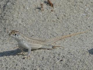 Lézard couleur sable sur la plage