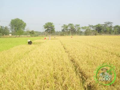 FOTO 4 :   Panen Padi TRISAKTI  73 HST MT2 Di Sawah Tegalsungsang Blok Timur.