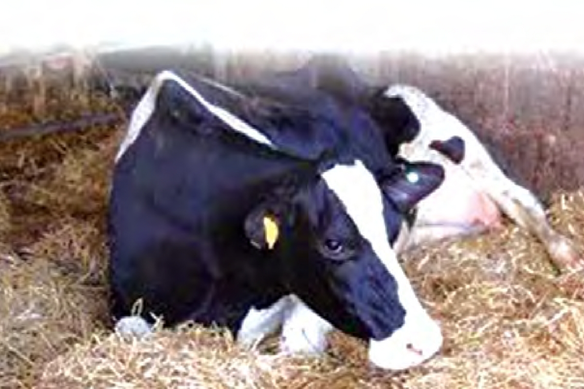 How to Treat and Control Milk Fever in Dairy Cattle