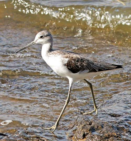 Indian birds - Image of Marsh sandpiper - Tringa stagnatilis