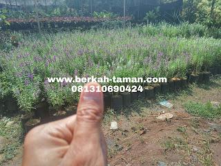 tanaman hias lavender pengusir nyamuk