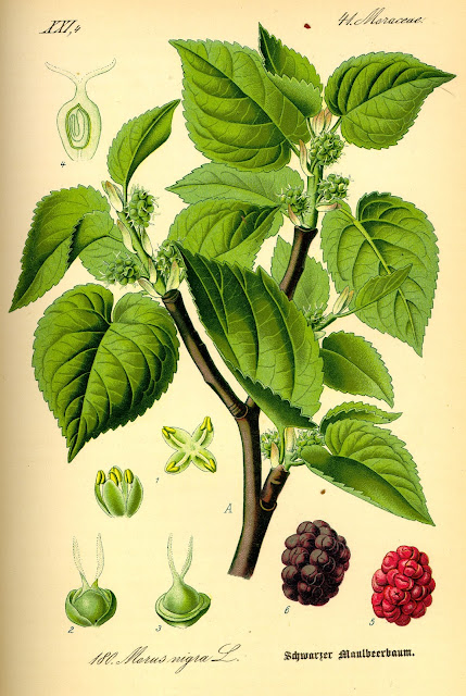 Botanical illustration of Morus nigra