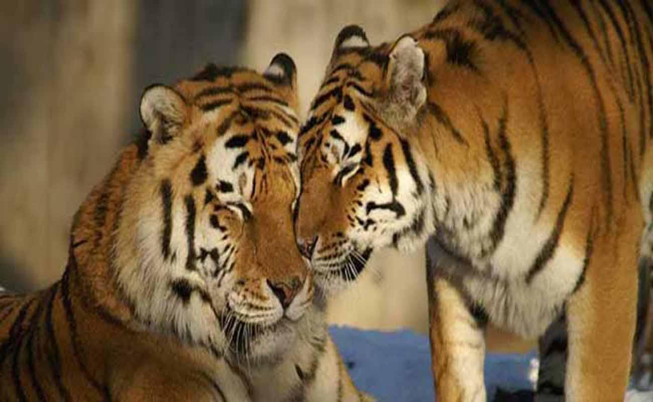 Jika Pemilik Jurus Harimau Mati Harus Disayat