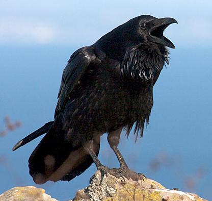 Resultado de imagem para corvos