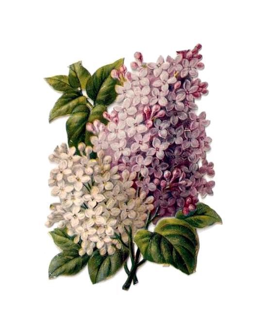 http://2.bp.blogspot.com/-ZOOMG32RT8M/TefkSqmPIyI/AAAAAAAACjk/S_C6SB0CjQo/s320/penny_plain_victorian_scraps_flowers_lilac_002.png