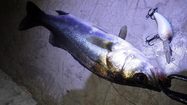 湾奥 小型河川 シーバス ワーミングクランク ショットディープ