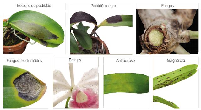 orquideas pragas1