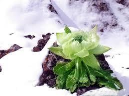 hoa sen tuyết liên