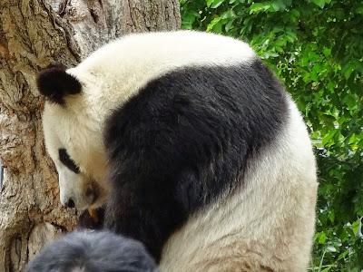 神戸市立王子動物園 ジャイアントパンダ