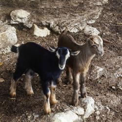 Goats 02