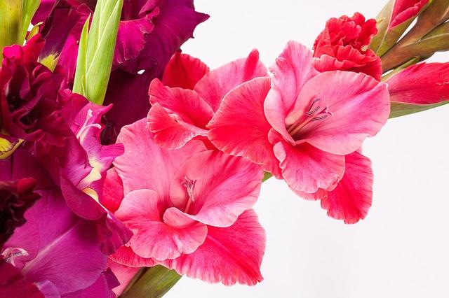 hoa lay ơn đẹp nhất 3