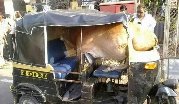 #8 Ternyata disana sapi juga naik bajaj !!