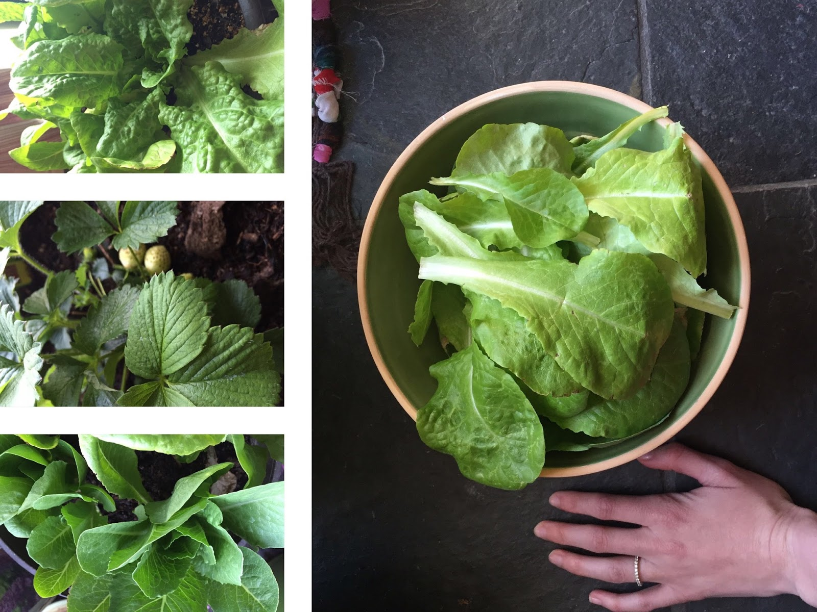A collage of my lettuce harvest. // WWW.THEJOYBLOG.NET