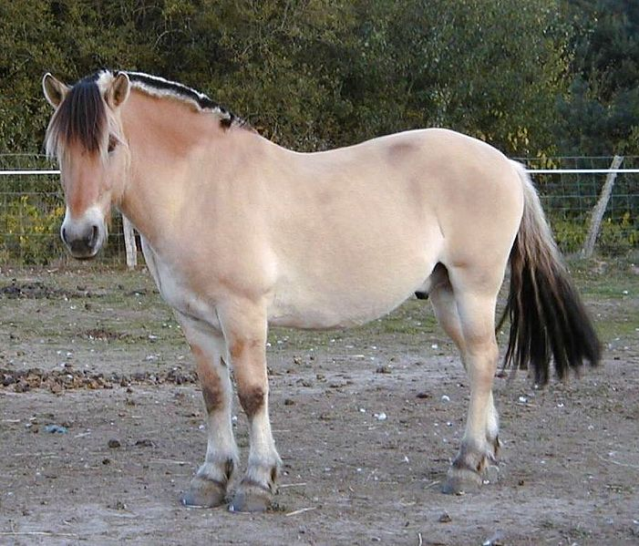 Animal A Day Fjord Horse