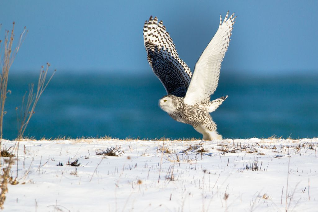 Flying Owl by John