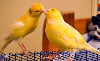 burung kenari agar cepat bertelur
