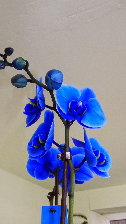 Màu sắc hoa lan hồ điệp Blue Mystique Phalaenopsis