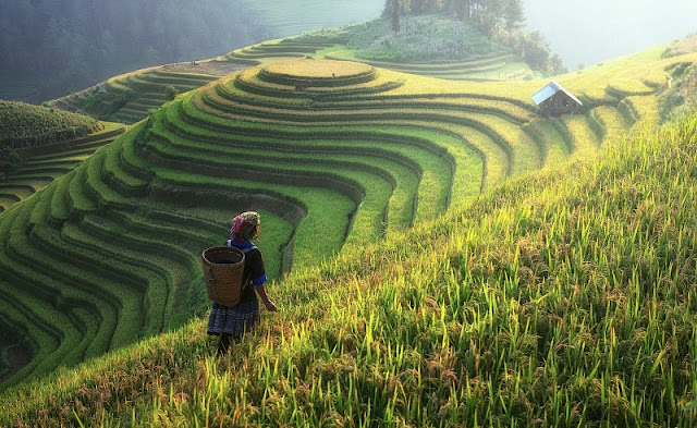 Sapa's Rice Terraces in harvest season 1
