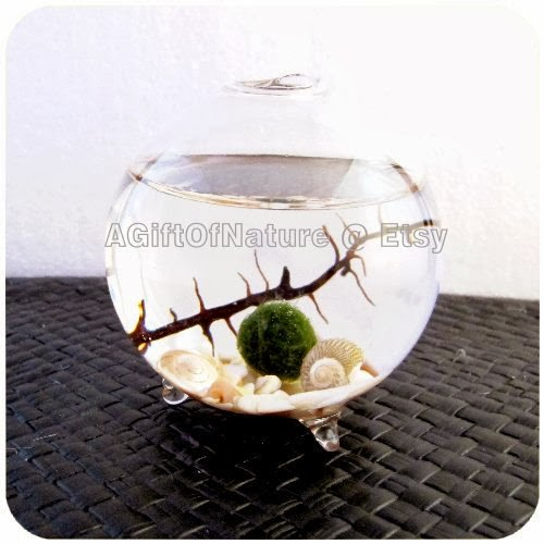 Japanes Marimo Moss Ball Terrarium by A Gift of Nature on Etsy
