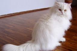 Kucing Anggora Dan Cara Merawatnya