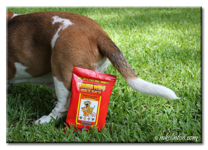 Basset rear with a package of Tushee Wipes