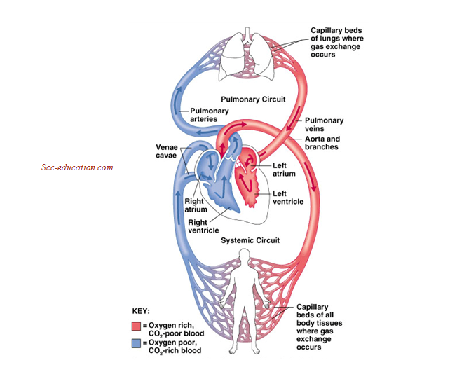 circulatory system, sharma sir ,biology notes for 11and 12,
