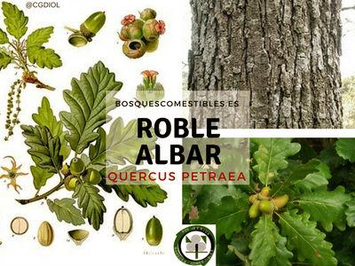 El Roble albar, Quercus petrea, es un árbol ideal para forestar zonas semí umbrías