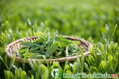 thảo dược chữa nhức răng nhanh chóng từ trà xanh