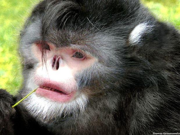 monyet langka dengan hidung pesek dari myanmar