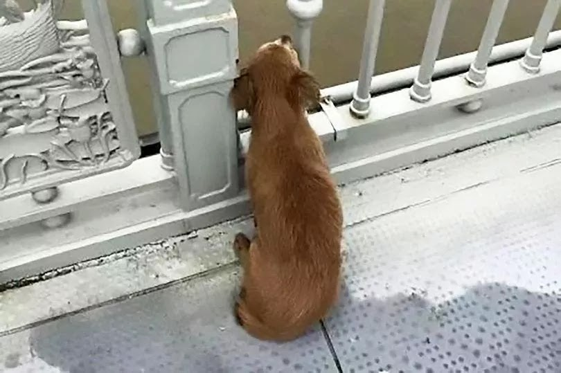Loyal Dog Waits 4 Days On A Bridge After Watching His Owner Jumping To His Death In Wuhan River